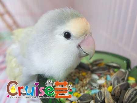 美國布朗氏-安可系列-中小型鸚鵡 (5)