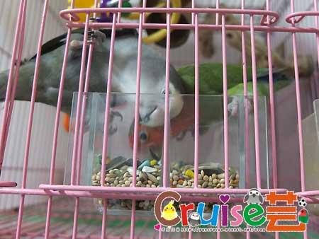 美國布朗氏-安可系列-中小型鸚鵡 (7)