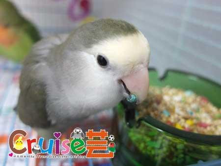 美國布朗氏-安可系列-中小型鸚鵡 (8)