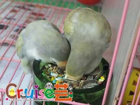 美國布朗氏-安可系列-中小型鸚鵡 (9)