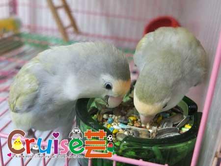美國布朗氏-安可系列-中小型鸚鵡 (10)