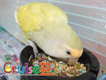美國布朗氏-安可系列-中小型鸚鵡 (11)