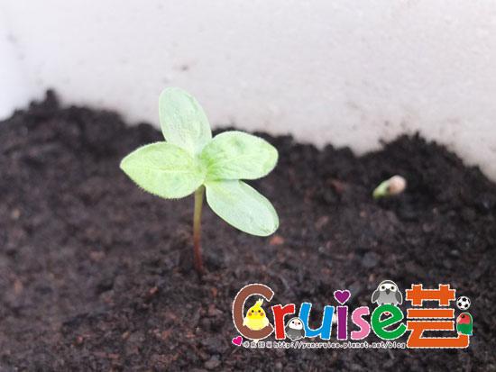 150802-巨花向日葵-(1).jpg