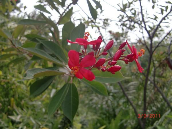 琴葉珊瑚花