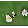 daisychains.png