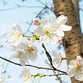 上海魯迅公園 櫻花