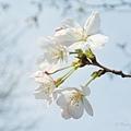 上海魯迅公園櫻花