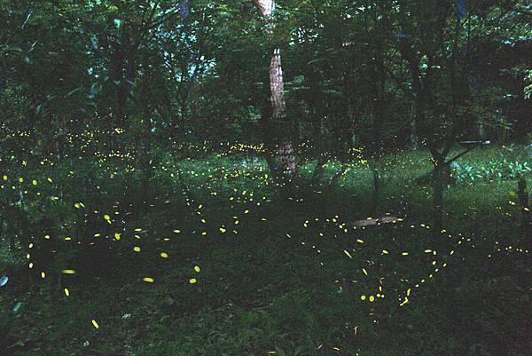 雲仙樂園螢火蟲拍攝