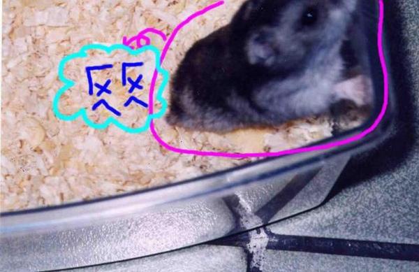 愛鼠  ㄏㄨㄟㄏㄨㄟ /胖鼠