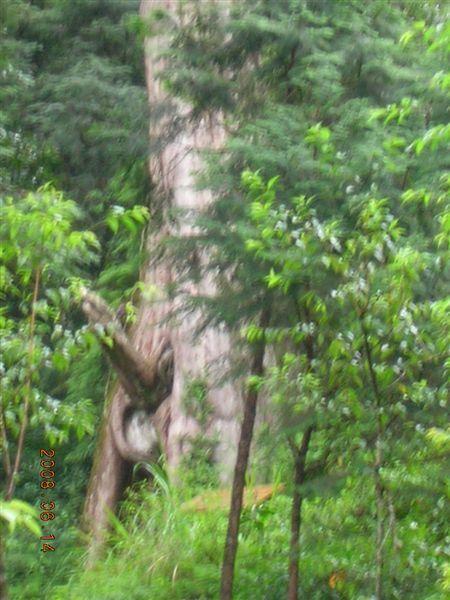 09棲蘭-包公神木