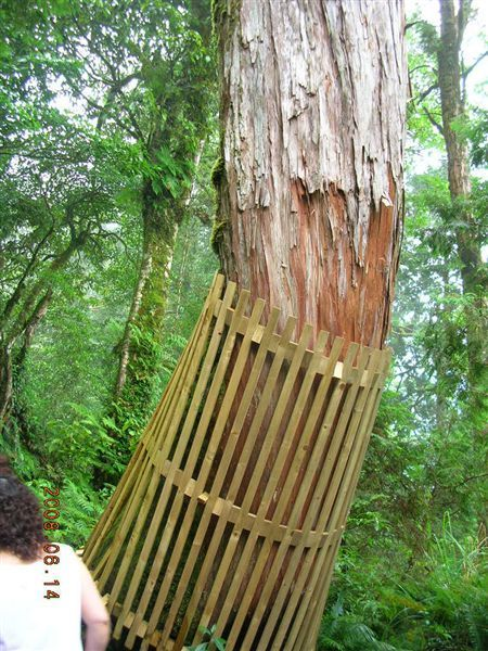 18棲蘭-穿裙子的神木