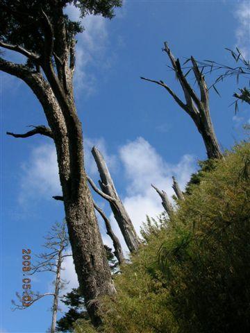 63白木林.JPG