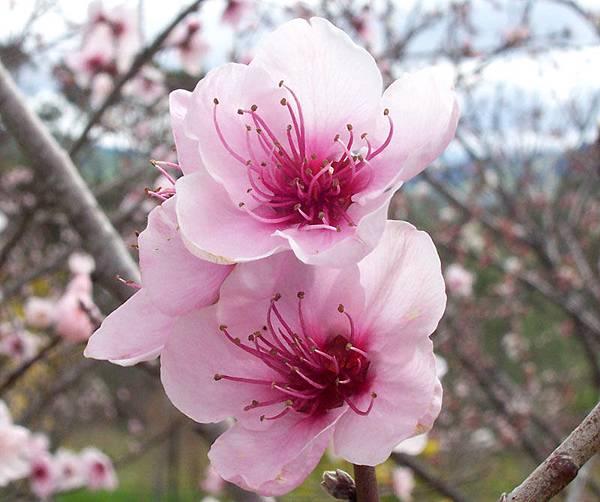 Peach_flowers.jpg