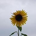 少數比較完整的向日葵