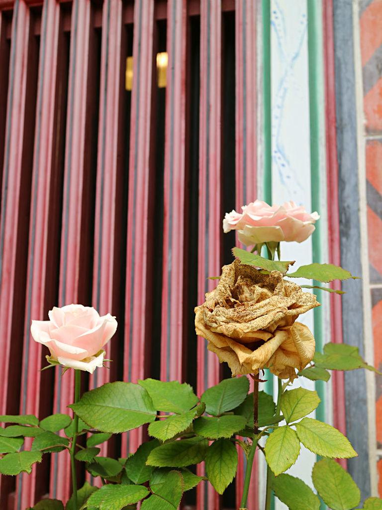 窗前玫瑰.JPG