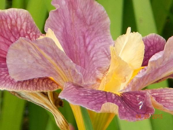 粉色鳶尾花.JPG