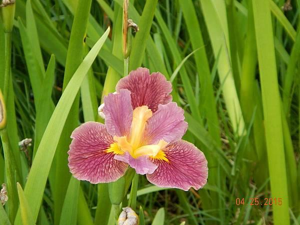 粉色鳶尾花-2.JPG