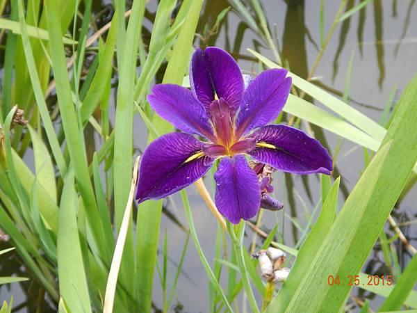 紫色鳶尾花-1.JPG