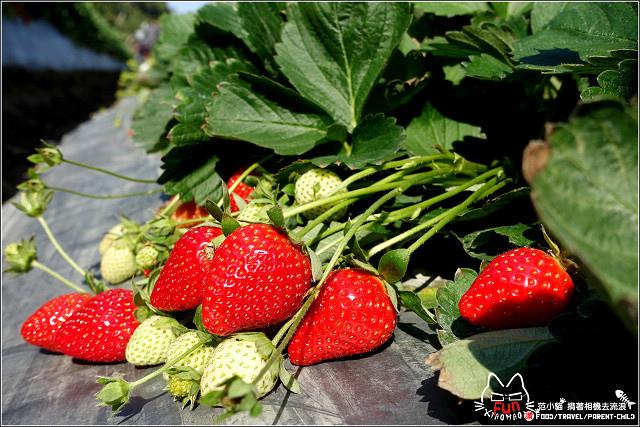 採草莓-奇奇草莓園 (01).jpg