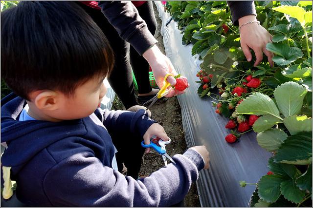 採草莓-奇奇草莓園 (02).jpg