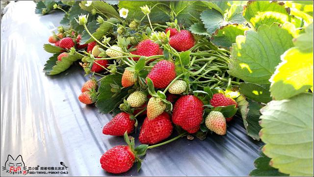 採草莓-奇奇草莓園 (46).jpg