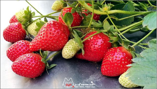 採草莓-奇奇草莓園 (48).jpg