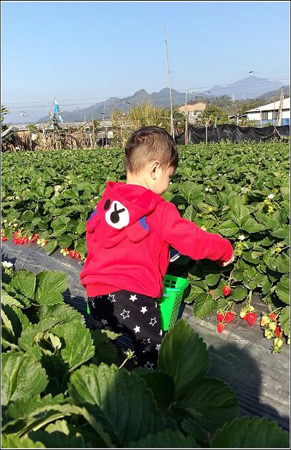 採草莓-奇奇草莓園 (56).jpg