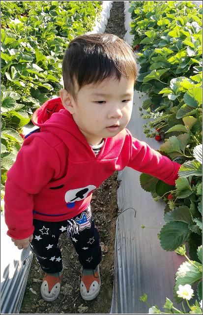 採草莓-奇奇草莓園 (67).jpg