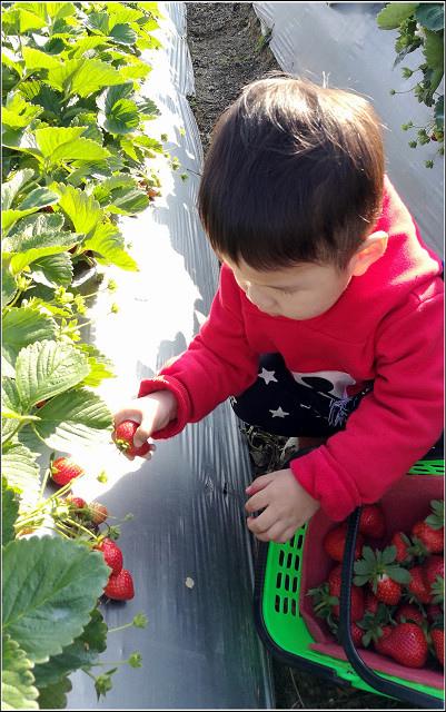 採草莓-奇奇草莓園 (69).jpg