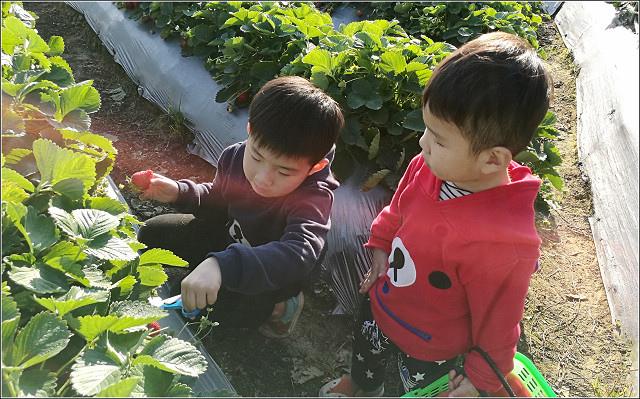 採草莓-奇奇草莓園 (72).jpg
