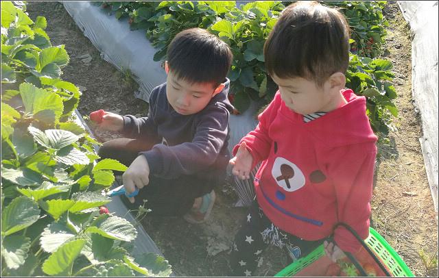 採草莓-奇奇草莓園 (73).jpg