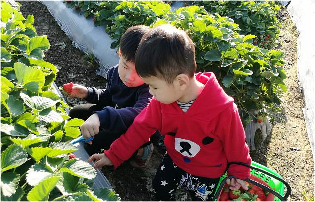 採草莓-奇奇草莓園 (74).jpg