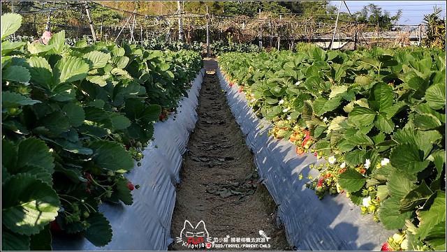 採草莓-奇奇草莓園 (77).jpg