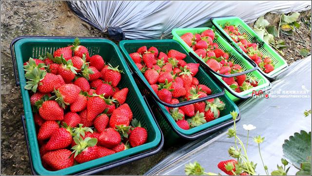 採草莓-奇奇草莓園 (78).jpg
