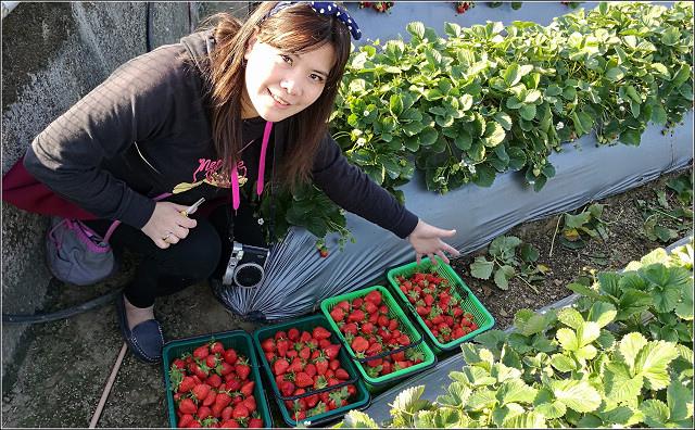 採草莓-奇奇草莓園 (79).jpg