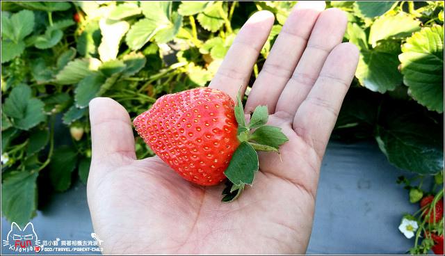 採草莓-奇奇草莓園 (80).jpg