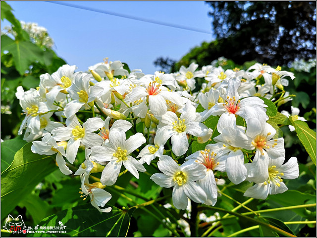 仁和步道桐花 - 053.jpg