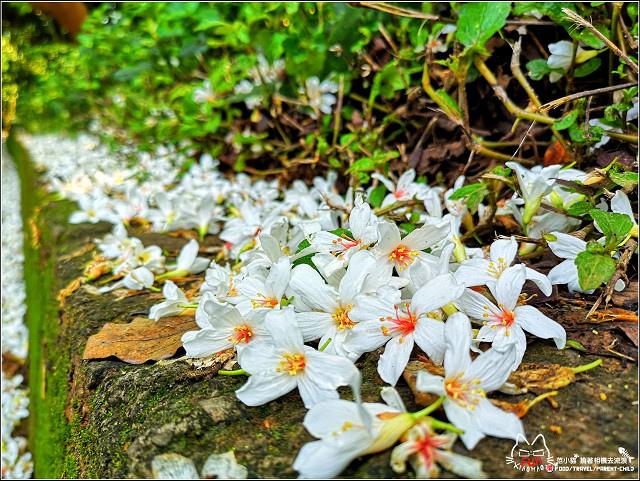 仁和步道桐花 - 057.jpg