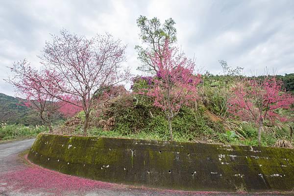 燈篙林道 賞櫻-3.jpg