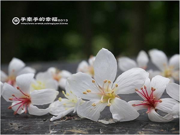 三芝桐花130502001