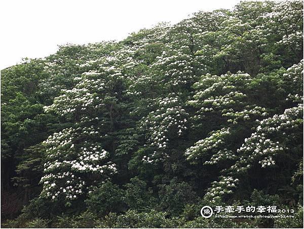三芝桐花130502002