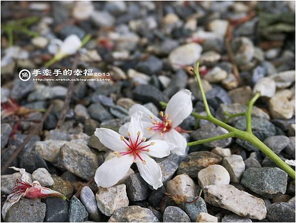 三芝桐花130502013