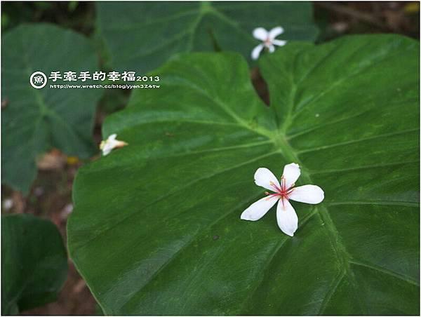 三芝桐花130502017