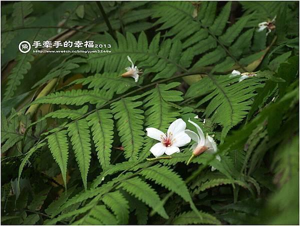 三芝桐花130502018