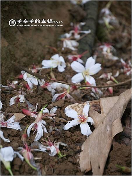 三芝桐花130502021