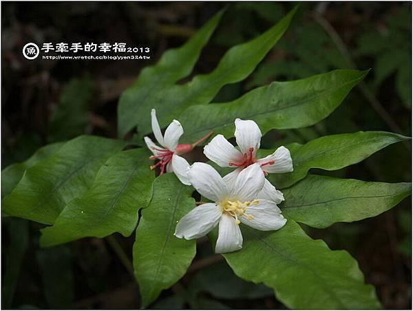 三芝桐花130502022