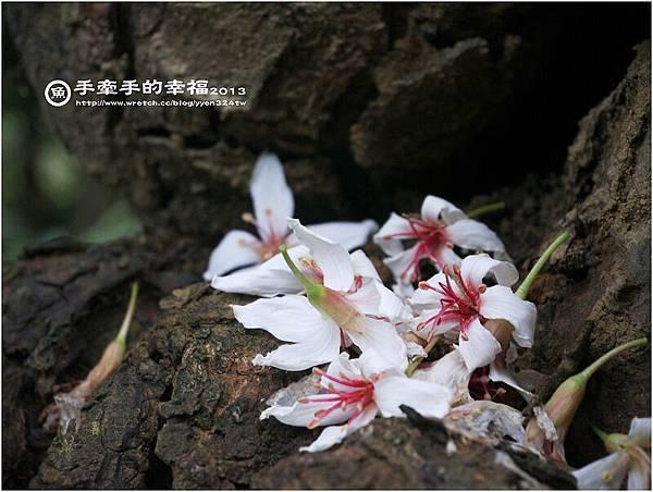 三芝桐花130502023