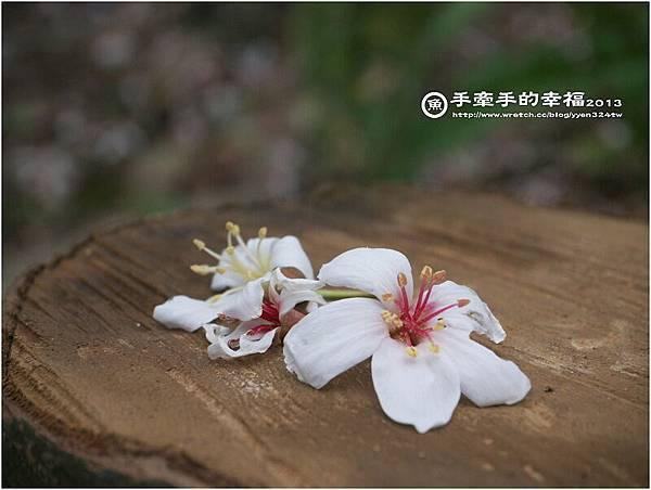 三芝桐花130502024