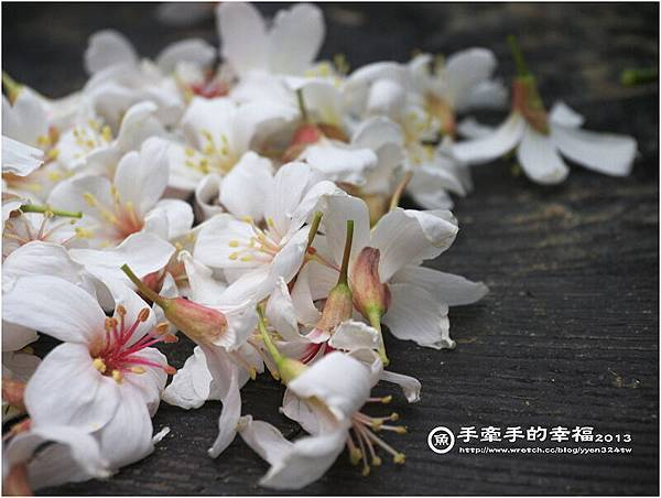三芝桐花130502027