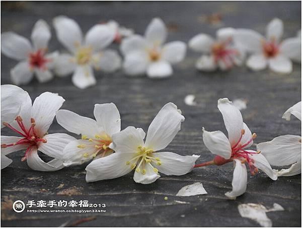 三芝桐花130502028